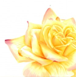 Workshop avec Melanie Foster - Theme : rose jaune